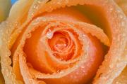 Delicate Bloom Prints - Orange Rose With Dew Print by Craig Tuttle