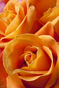Orange Roses Framed Prints - Orange Roses Framed Print by Garry Gay