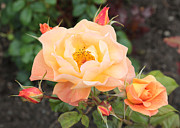 Orange Roses Prints - Orange Roses in Oslo Print by Carol Groenen