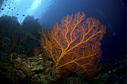 Gorgonian Photos - Orange Sea Fan, Christmas Island by Mathieu Meur