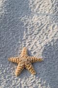 Asteroidea Posters - Orange seastar laying on sand Poster by Mary Van de Ven - Printscapes
