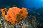 New Britain Prints - Orange Sponge With Crinoid Attached Print by Steve Jones