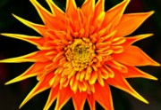 Burst Prints - Orange Star Flower Print by Bill Morgenstern