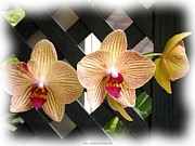 Jagged Border Photo Framed Prints - Orange striped Orchids Framed Print by Rose Santuci-Sofranko