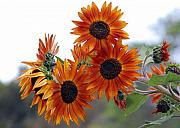 Orange Flowers Posters - Orange Sunflower 1 Poster by Amy Fose