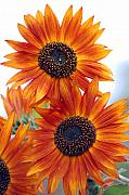 Orange Flowers Posters - Orange Sunflower 2 Poster by Amy Fose