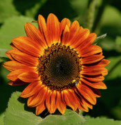 Cindi Ressler Prints - Orange Sunflower Print by Cindi Ressler