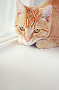 Window Sill Photo Posters - Orange Tabby Cat On White Window Sill Poster by Kellie Parry Photography