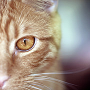 Alertness Photos - Orange Tabby Cats Golden Eye. by Photo by Corinne Boutin