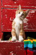 Looking Framed Prints - Orange tabby kitten in red drawer  Framed Print by Garry Gay