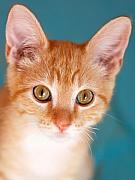 Golden Eyes Originals - Orange Tabby Kitten by Marilyn Hunt