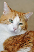 Tabby Cat Photos - Orange Tabby  Reflective by Laura Mountainspring