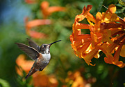 Hummingbird In Flight Posters - Orange Temptation Poster by Fraida Gutovich