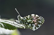 Dewdrops Prints - Orange Tip Butterfly Covered In Dew Print by Colin Varndell