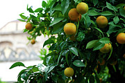 Southern Province Photo Posters - Orange Tree Poster by Lorraine Devon Wilke