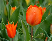 Green Foliage Prints - Orange Tulips Print by Debbi Granruth