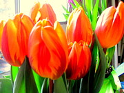 Amy Bradley - Orange Tulips in Sunshine