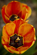Quality Images Framed Prints - Orange Tulips Framed Print by James Bo Insogna