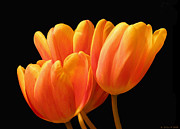 Grace Dillon Prints - Orange Tulips on Black Print by Grace Dillon