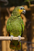 Bright Framed Prints - Orange-winged Amazon Parrot Framed Print by Adam Romanowicz