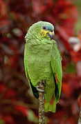 Amazon Parrot Posters - Orange-winged Parrot Amazona Amazonica Poster by Pete Oxford