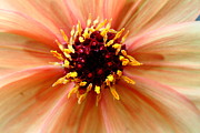 Macro Photos Prints - Orange Yellow Dahlia . 7D14563 Print by Wingsdomain Art and Photography