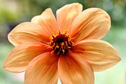 Floral Photos Prints - Orange Yellow Dahlia . 7D14579 Print by Wingsdomain Art and Photography