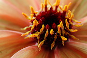 Macro Photos Prints - Orange Yellow Dahlia . 7D14597 Print by Wingsdomain Art and Photography