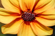 Macro Photos Prints - Orange Yellow Dahlia . 7D14622 Print by Wingsdomain Art and Photography