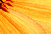 Macro Photos Prints - Orange Yellow Dahlia Petals . 7D14731 Print by Wingsdomain Art and Photography