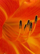 Daylily Photos - Orange You Glad by Marla Ricigliano