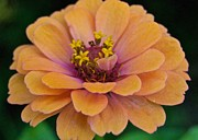Photograpy Metal Prints - Orange Zinnia_9475_4267 Metal Print by Michael Peychich