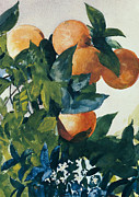 Watercolors Painting Framed Prints - Oranges on a Branch Framed Print by Winslow Homer