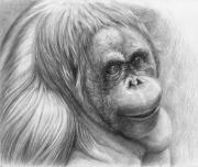 Orangutan Framed Prints - Orangutan - Pongo pygmaeus Framed Print by Svetlana Ledneva-Schukina