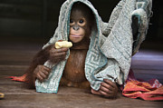 Orangutan Photos - Orangutan 2yr Old Infant Holding Banana by Suzi Eszterhas