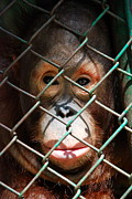 Orangatang Framed Prints - Orangutan being detained Framed Print by Wanlop Sonngam