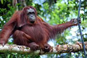 Primate Photo Prints - Orangutan Borneo Print by Thepurpledoor