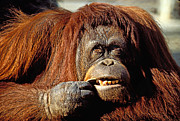 Red Hair Framed Prints - Orangutan  Framed Print by Garry Gay