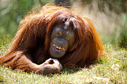 Smiling Prints - Orangutan In The Grass Print by Garry Gay