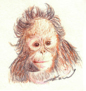 Ape Drawings Posters - Orangutan Poster by Julie L Hoddinott