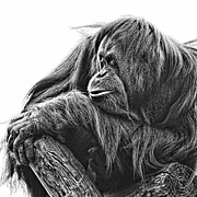 Orangutans Framed Prints - Orangutan Framed Print by Lana Trussell