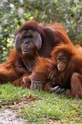 Cuddles Posters - Orangutan Mother And Baby Poster by Natural Selection Ralph Curtin