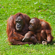 Orangutan Framed Prints - Orangutan mother and child Framed Print by Gabriela Insuratelu