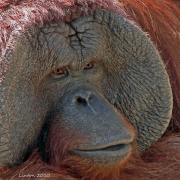 Ape Photo Originals - Orangutan Portrait by Larry Linton