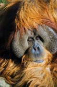 Orangutan Framed Prints - Orangutan Framed Print by Randall Ingalls