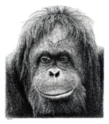 Orangutan Drawings - Orangutan by Scott Woyak