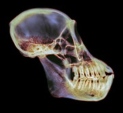 Orangutan Photos - Orangutan Skull, X-ray by D. Roberts