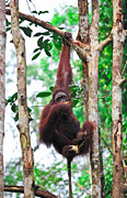 Orangatang Framed Prints - Orangutanf In Rainforest Framed Print by Gualtiero Boffi