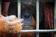 Depressed Prints - Orangutang In Cage Print by Gualtiero Boffi