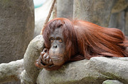 Gorilla Photos - Orangutans Day by Julie Palencia